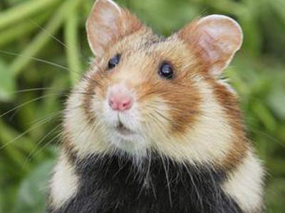 Nouveaux comptages des Grands Hamsters