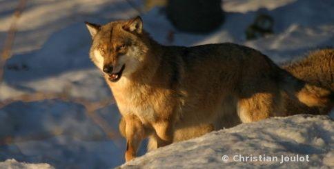 Un Loup aperçu dans le Kochersberg : que faire si vous le rencontrez