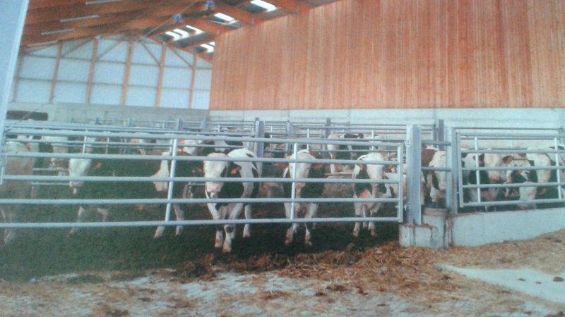 [petition] ferme-usine : 1200 taurillons à Wintershouse dans le Bas-Rhin