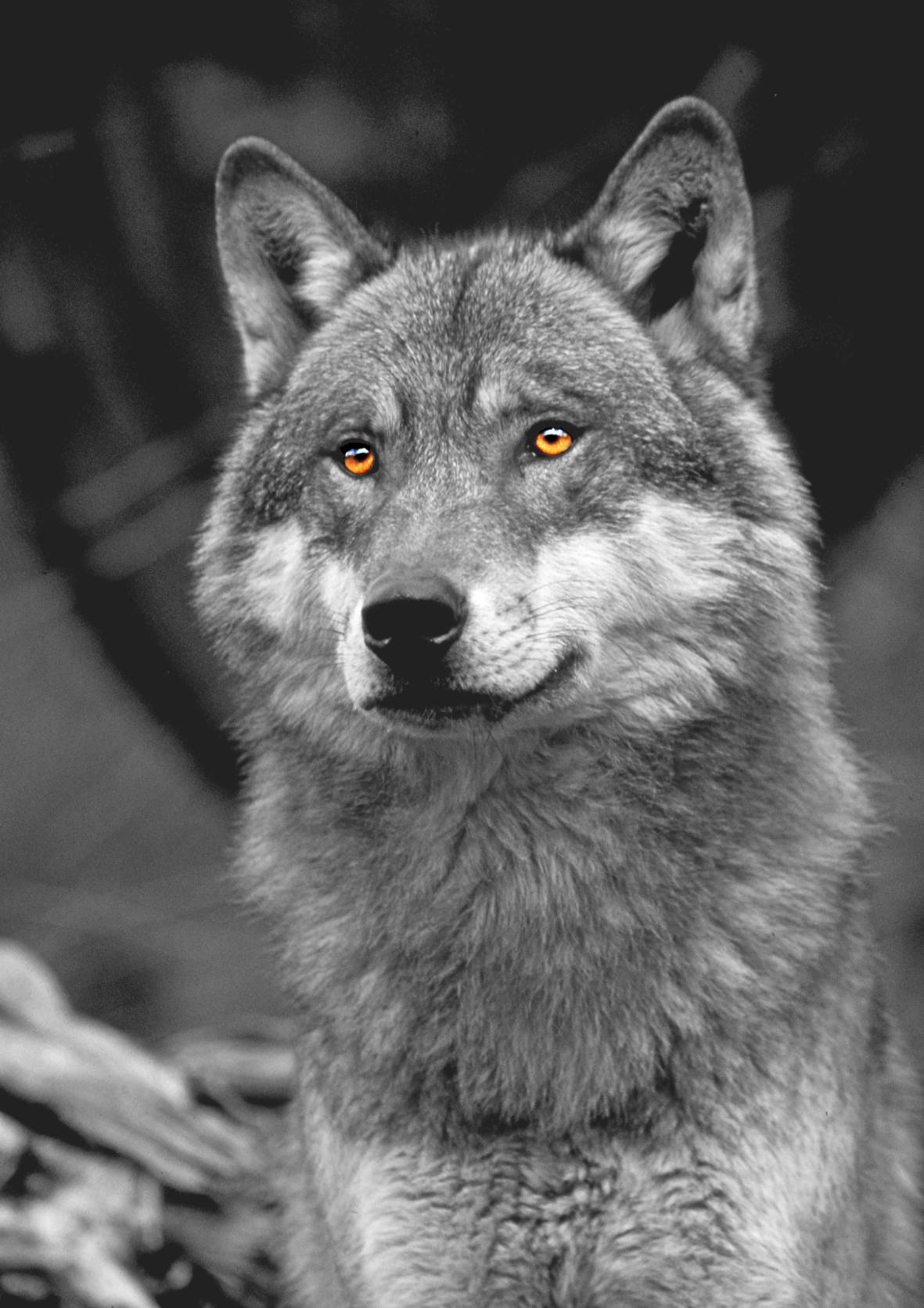14 fév 2016 – Cause café : Grands prédateurs dans les Vosges : faut il avoir peur du loup ?