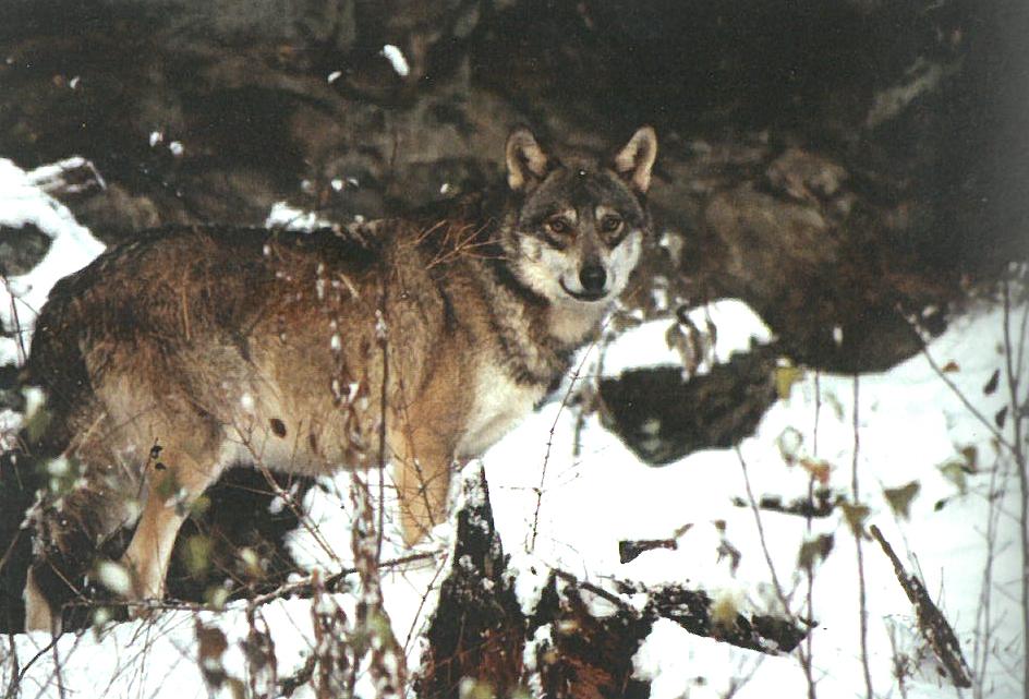 [Découverte de la semaine] – Loup Gris (Canis lupus)