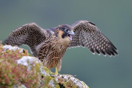 [Découverte de la semaine] – Faucon pèlerin (Falco peregrinus)