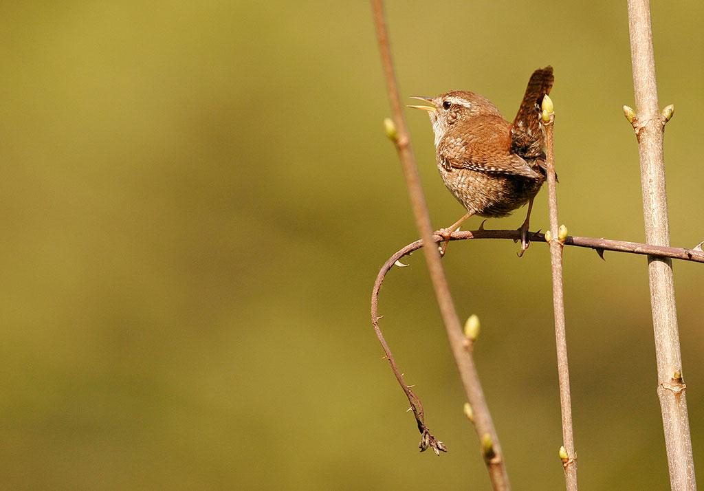 Troglodyte mignon © Marc Solari