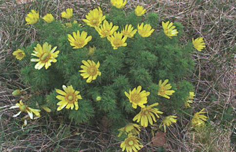 [Découverte de la semaine] Adonis de printemps (Adonis vernalis)
