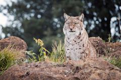 [Découverte de la semaine] – Le Lynx Boréal (lynx lynx)