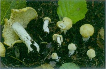 [Découverte de la semaine] Le Clitocybe poivré (Gerhardtia piperata)