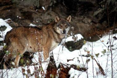 [Ciné-débat] Le retour du Loup dans les Vosges
