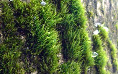 [découverte de la semaine] Dicranum viride  Dicrane vert