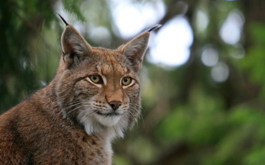 Réintroduction du Lynx par Christelle Scheid
