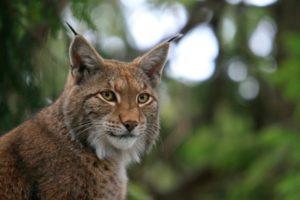 Réintroduction du Lynx par Christelle Scheid @ Espace Cuirassiers | Reichshoffen | Grand Est | France