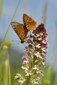 À la découverte des papillons et orchidées de la vallée de Villé @ Parking du cimetière de Triembach-au-Val | Triembach-au-Val | Grand Est | France