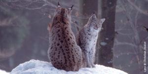 Marche blanche pour le lynx le 15 février à St Amarin @ St Amarin | Saint-Amarin | Grand Est | France