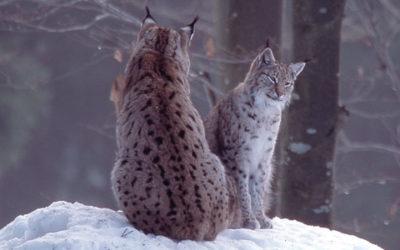 Marche blanche pour le lynx le 15 février à St Amarin