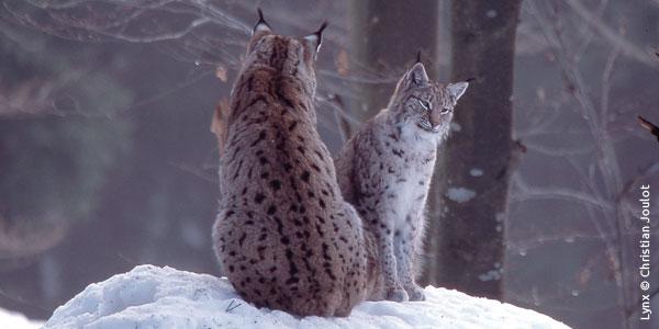 Lynx dans les Vosges : le mauvais feuilleton se poursuit