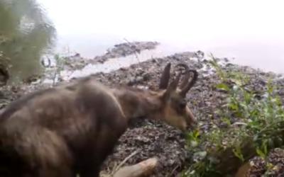 [Communiqué de presse] Un Chamois dans la plaine, la nature reprend ses droits ?