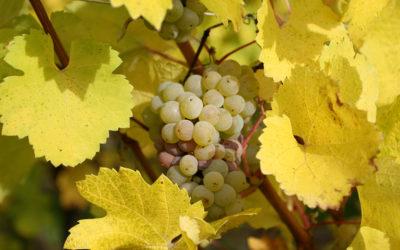 Alsace Nature réagit à l'article des DNA du 28 avril 2020 «Viticulture zone de non traitement : Viticulteurs et riverains : un dialogue à construire»
