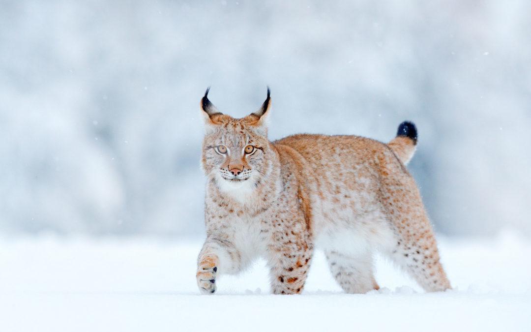 Sauvons le Lynx dans les Vosges