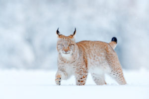 Lynx marchant dans la neige